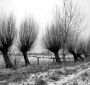 Rheinland, Niederrhein, Hoerstgen, Winter, Schnee, Baeume, Typische Kopfweiden