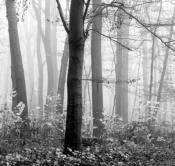 Rheinland, Niederrhein, Krefeld, Wald, Buchenwald, Herbst, Nebel
