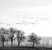 Rheinland, Niederrhein, Xanten, Naturschutzgebiet Xantener Altrhein, Bislicher Insel, Typische Landschaft, Arktische Wildgaense, Zugvoegel, Vogelschwarm