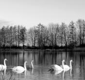 Rheinland, Niederrhein, Kranenburg-Wyler, Alt-Rheinarm, Naturschutzgebiet Wyler Meer, Morgenstimmung, Schwaene